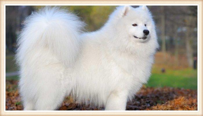 hermoso samoyedo de pelaje blanco mullido