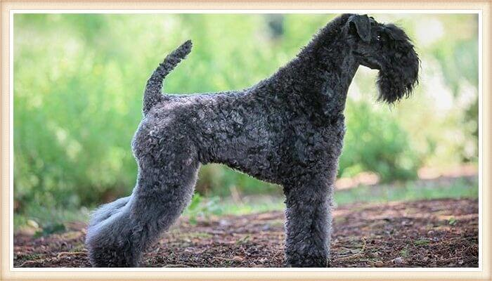 kerry blue terrier de pelaje planitado exquisito