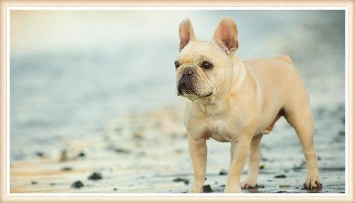 hermoso bulldog francés de color crema