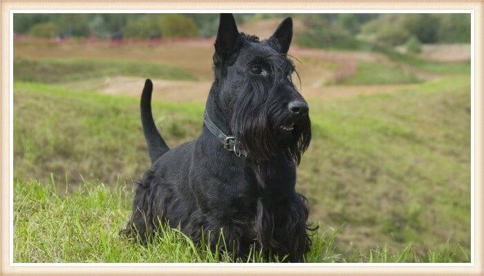 terrier escocés negro sobre la hierba