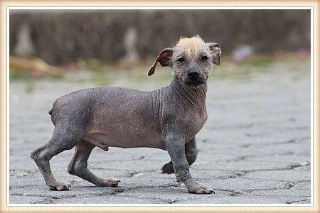 perro sin pelo ecuatoriano caminando sobre el pavimento