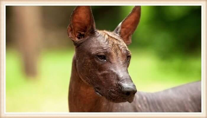 perro mexicano sin pelo mirando hacia un costado