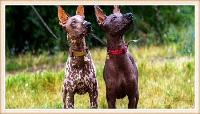 dos perros sin pelo peruanos en posición atenta sobre la hierba