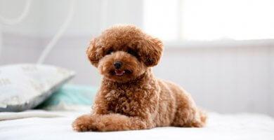 hermoso perro de capa mullida marrón