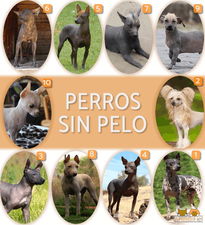 fotos de todos los perros sin pelo