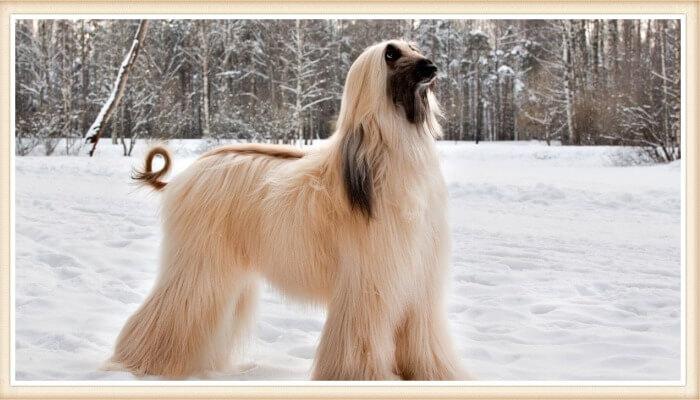 hermoso lebrel de pelo largo y cara negra