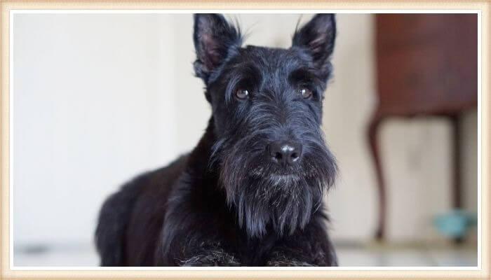 terrier escocés negro con expresión amigable