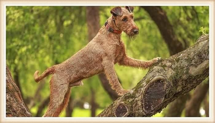 terrier irlandés trepando un árbol