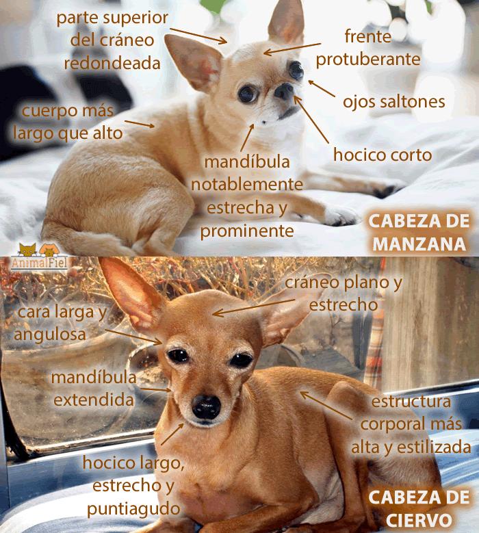 imagen comparativa entre dos chihuahuas
