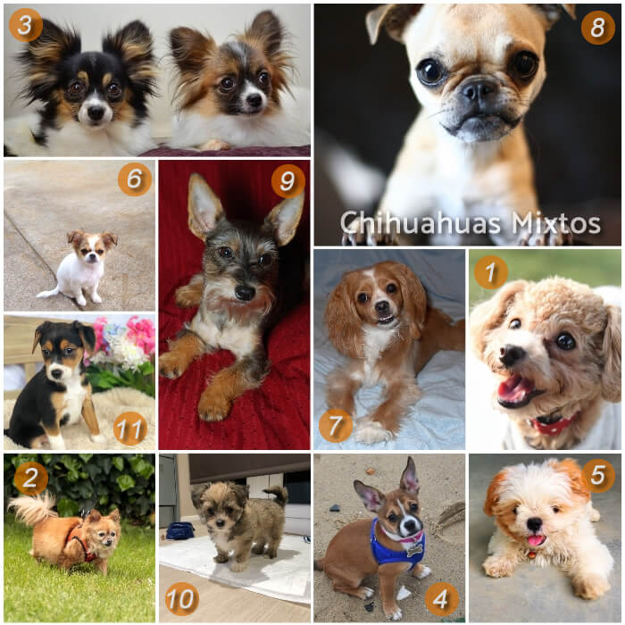 collage de razas chihuahuas mixtas