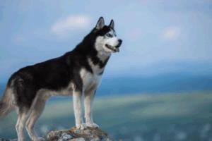 bello husky siberiano