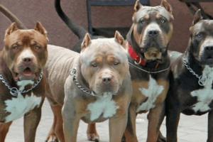 diferentes tipos de perros pitbull