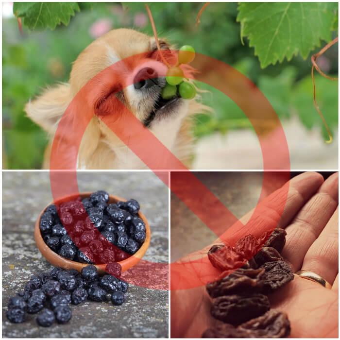 perro chihuahua mordiendo una uva