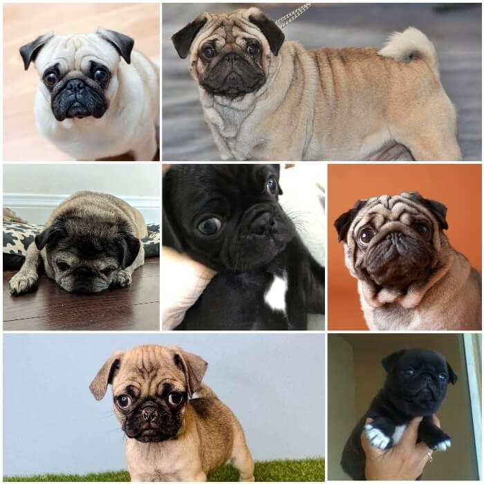 diferentes pugs mostrando sus marcas