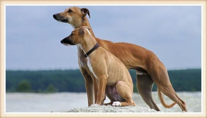 dos perros whippet mirando a lo lejos