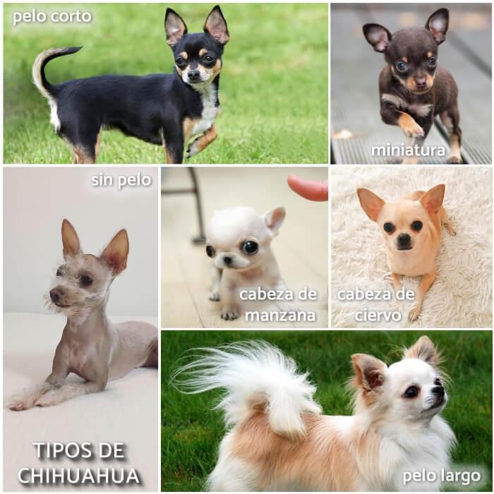 collage con los diferentes tipos de chihuahuas