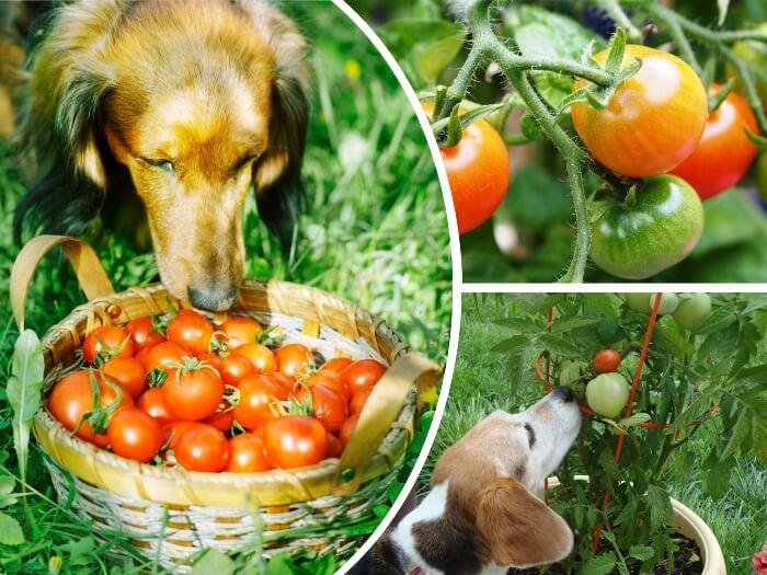 perro acercándose a una cesta de tomates maduros