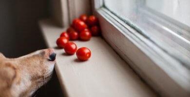 perro junto a la venta olfateando tomates cherry
