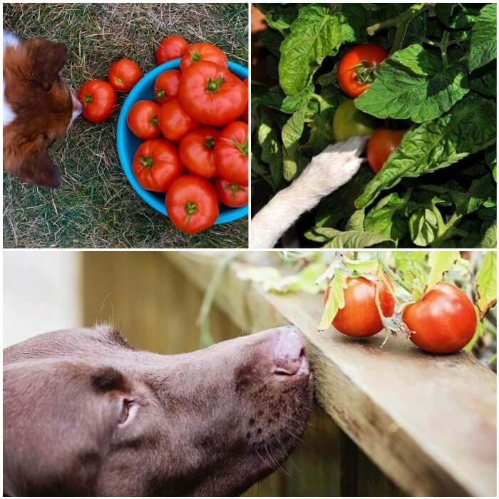 perro marrón junto a una rama de tomates