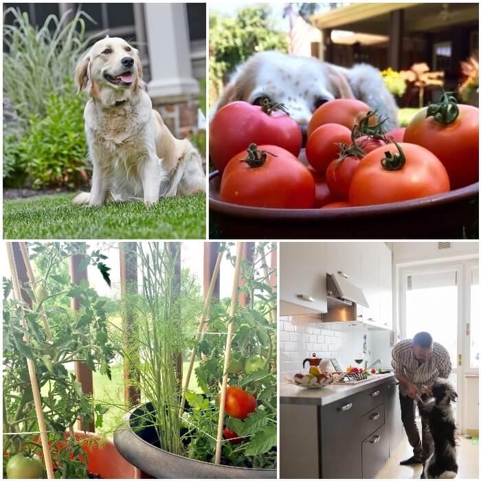 plantas de tomates sembradas en macetas