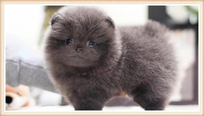 hermoso cachorro pomerania azul