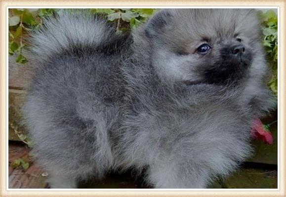 pequeño pomerania gris-lobo