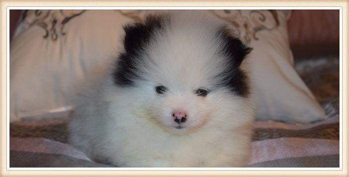 cachorro pomerania parti extremo