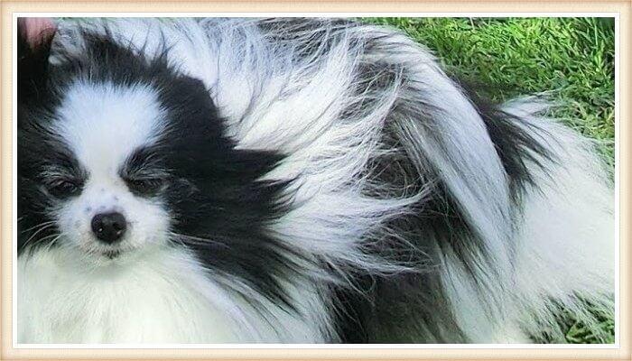 pomerania piebald peludo blanco y negro
