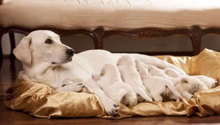 perra echada amamantando a sus cachorros