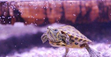 tortuga nadando dentro del acuario