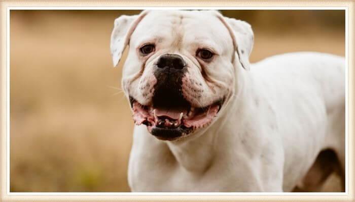 bulldog americano con la boca abierta