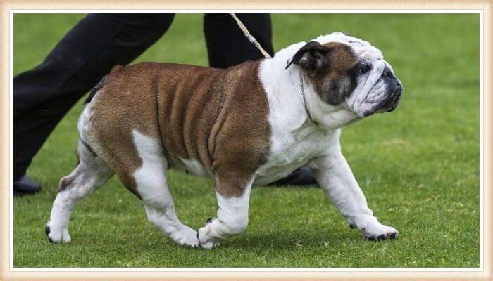 bulldog australiano caminando atado de la correa