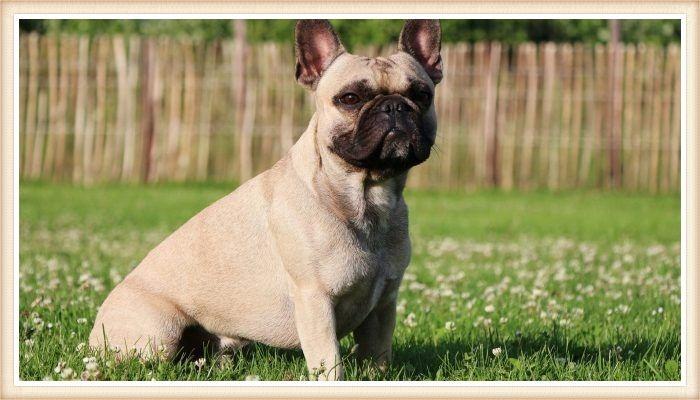 bulldog francés en posición alerta sobre al hierba