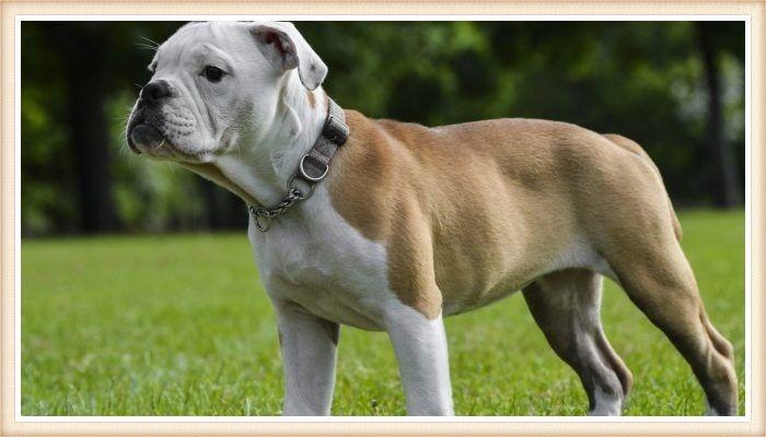 bulldog victoriano parado sobre el pasto