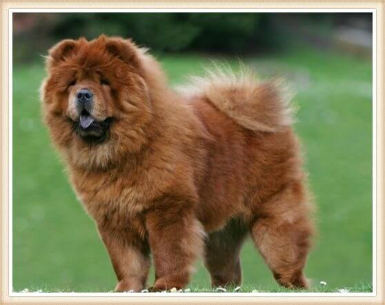 perro chow chow rojo parado y atento