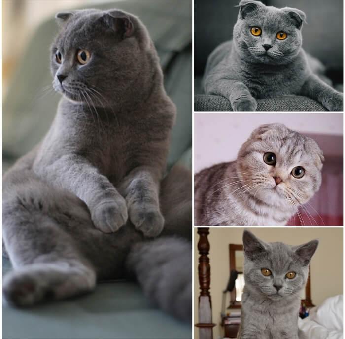 gato fold escocés sentado sobre sus patas traseras