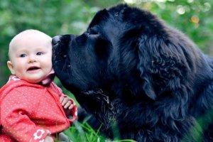 perro gigante besando a un bebé