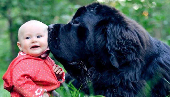 Cuál Es El Perro Más Grande Del Mundo 25 Razas Gigantes Fotos