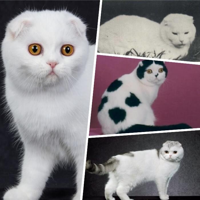 gato fold escocés de abrigo blanco impecable