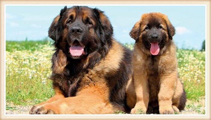 perros de raza leongerber descansando entre las flores