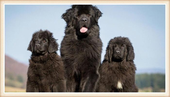 trío de perros terranovas negros
