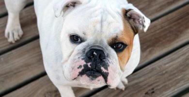 bulldog mirando atentamente hacia arriba