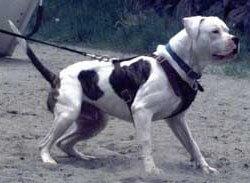 perro bulldog atado con correa