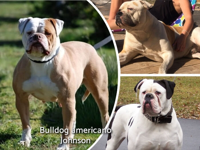 bulldog Johnson bicolor parado y alerta