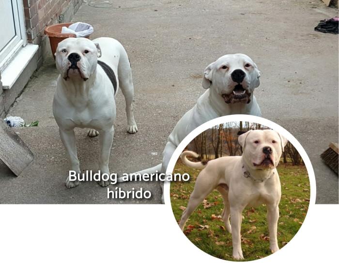 bulldogs blancos en posición atenta