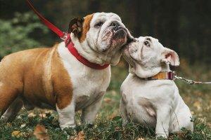 bulldogs jugando y paseando en la naturaleza