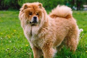 hermoso perro chow chow de erguido sobre la hierba