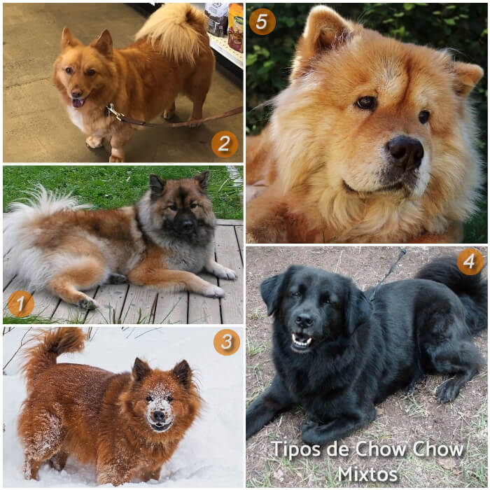 imagen collage con chow chow mixtos