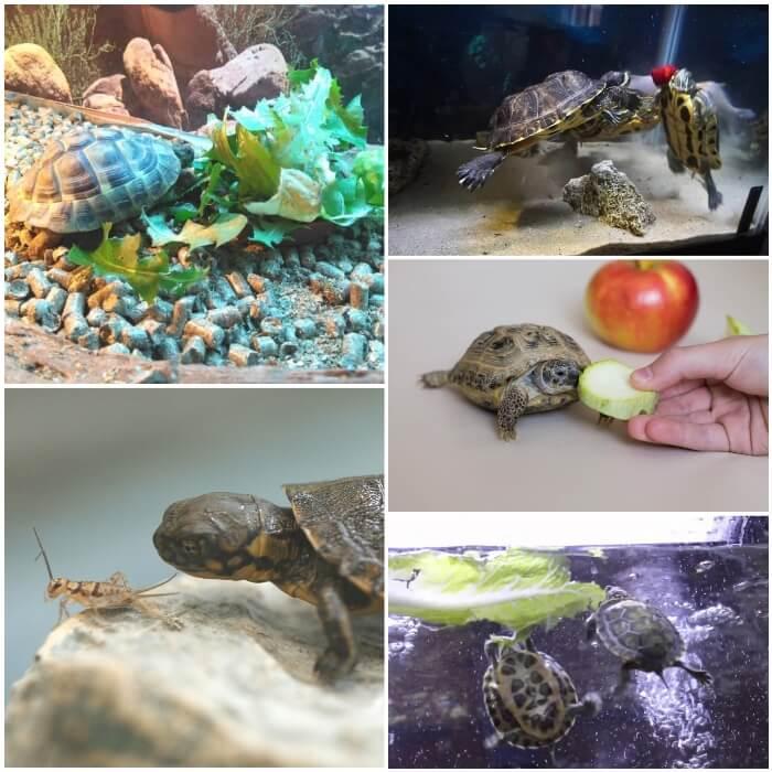 tortuga de agua comiendo lechuga
