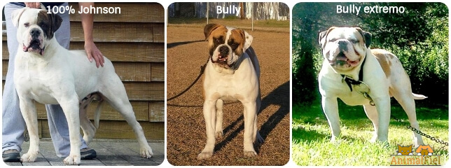 imagen collage versiones del bulldog americano Johnson